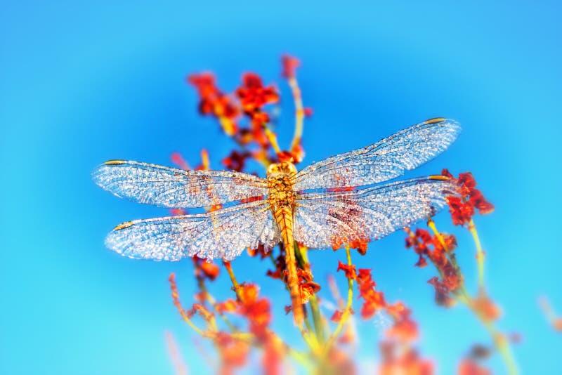 La libellula blu si siede su un'erba su un prato immagini stock libere da diritti