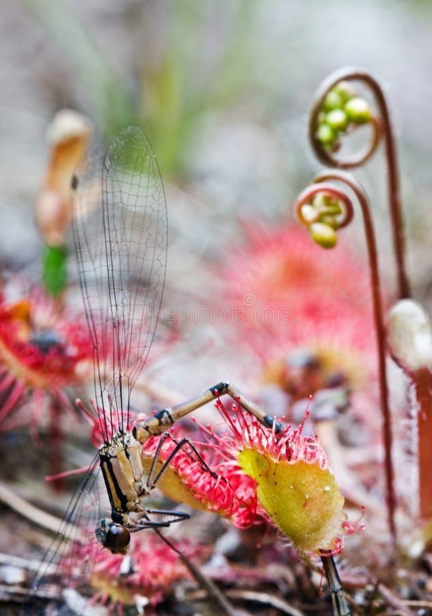 La libellula ha catturato da Sundew. immagine stock libera da diritti