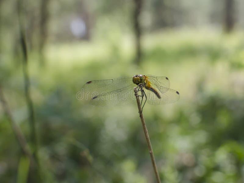 La libellula si siede su un ramo immagini stock
