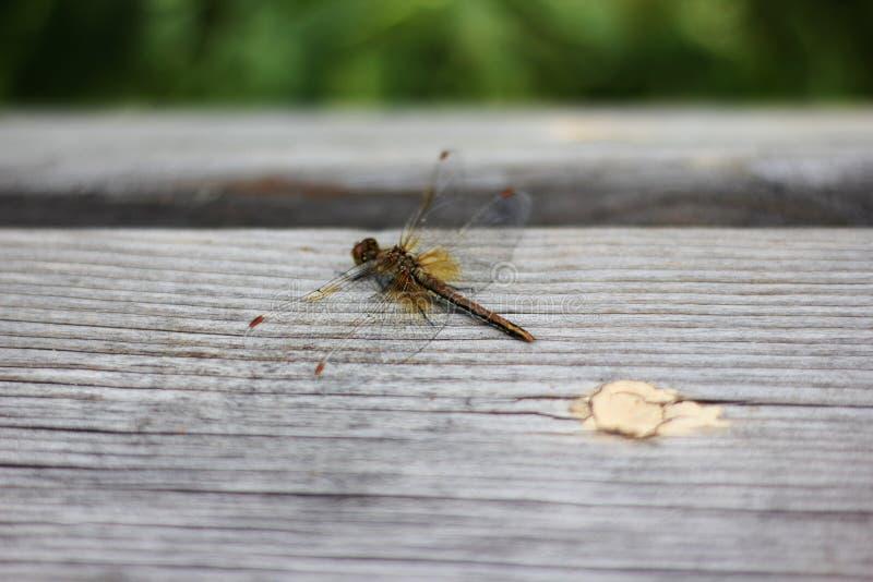 La libellula si siede su una superficie di legno un giorno soleggiato dell'estate verde, orizzontale immagine stock libera da diritti