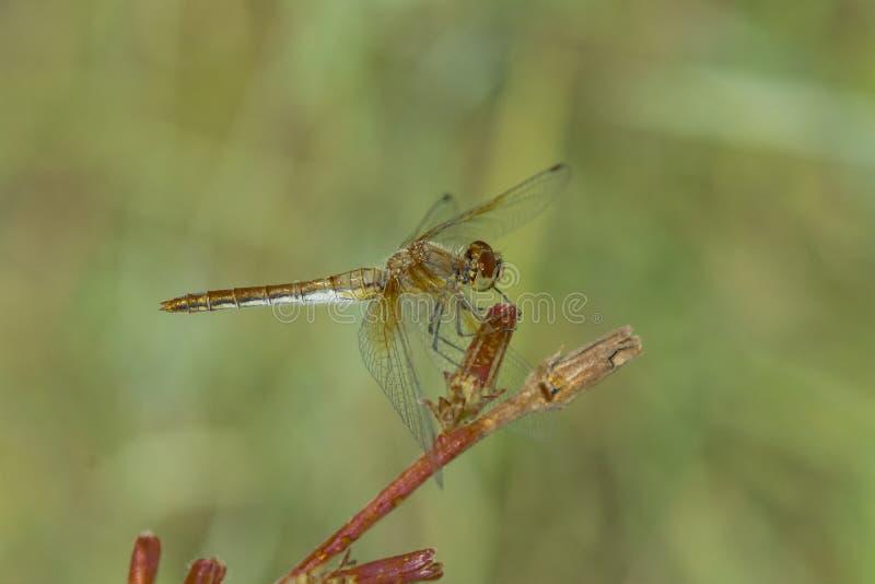 La libellula si siede sull'erba fotografia stock