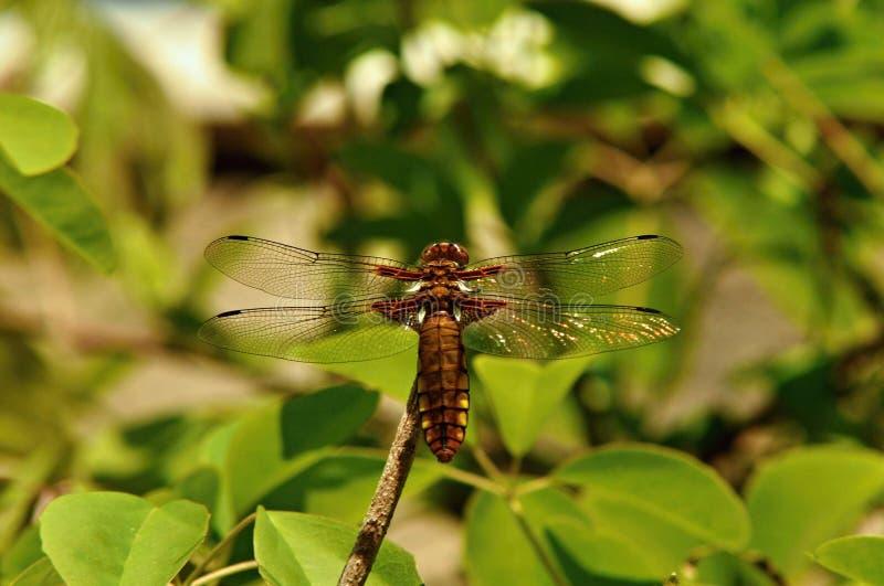 La libellula sta sedendosi su un ramo fotografia stock