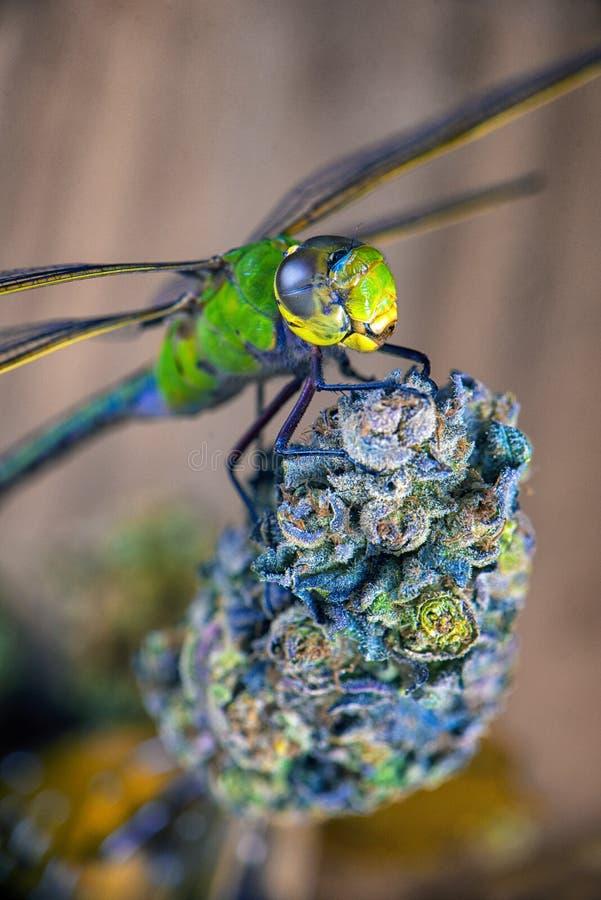 La libellule au-dessus du cannabis bourgeonnent - le concept médical de marijuana images libres de droits