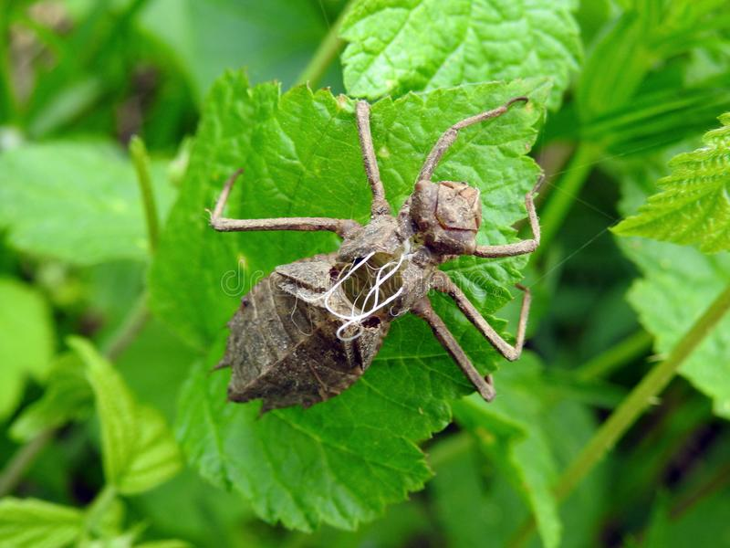 La libellule de Brown a moulé sur la feuille verte, Lithuanie photographie stock