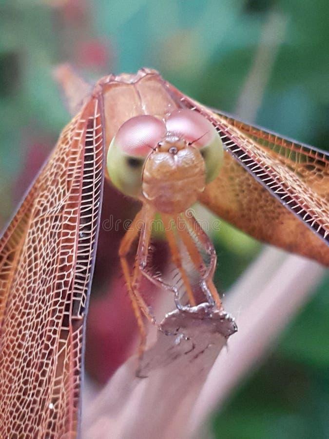 La libellule est une volaille images stock