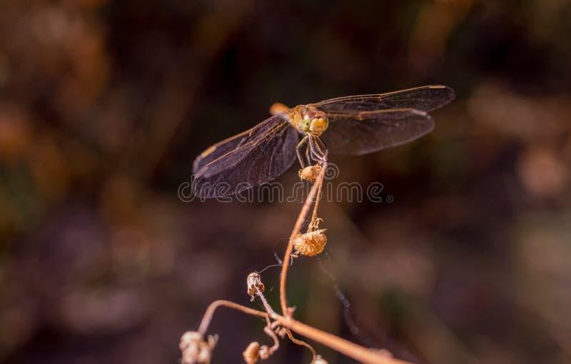 La libellule se repose sur le dessus de l'herbe images stock