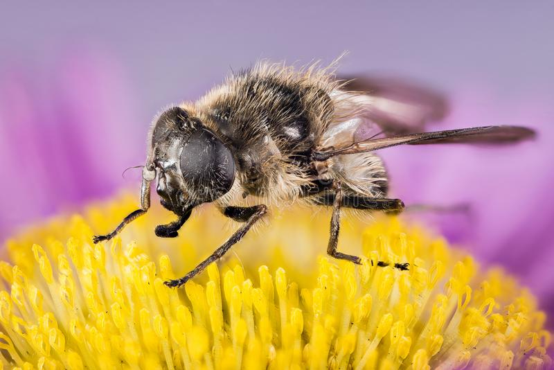 La Libración-mosca, Hoverfly, mosca, vuela foto de archivo