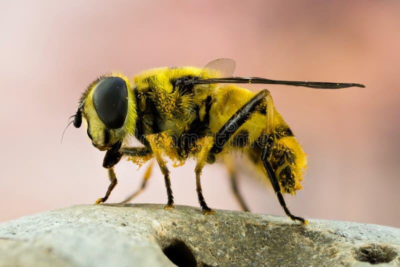 La Libración-mosca, Hoverfly, mosca, vuela imagen de archivo
