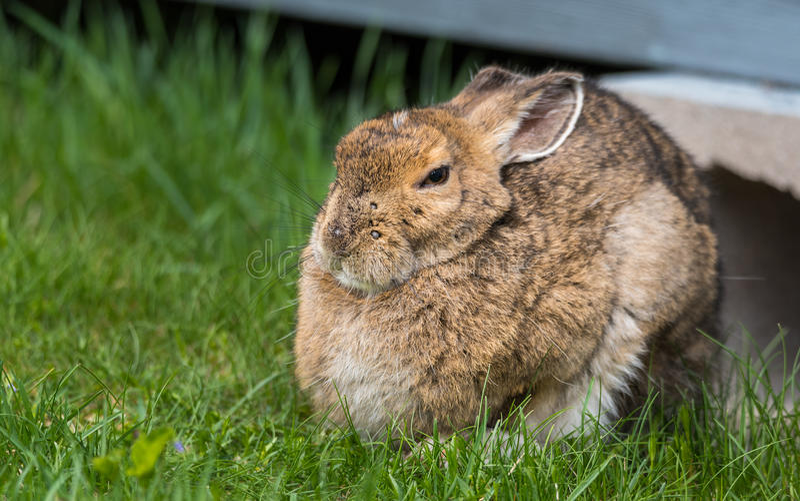 La liebre de raqueta vieja de mirada sabia sale de debajo su casa de campo en primavera Miradas fijas en la cámara, apareciendo m fotografía de archivo