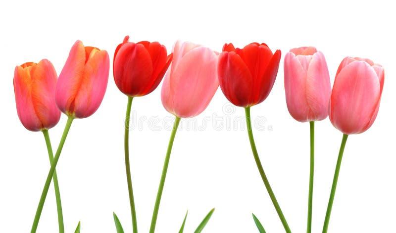 La ligne de la tulipe de printemps rose et rouge fleurit sur le fond blanc images libres de droits