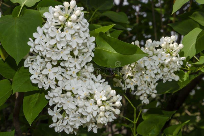 La lila blanca hermosa florece al aire libre Flores de la lila en las ramas imagen de archivo