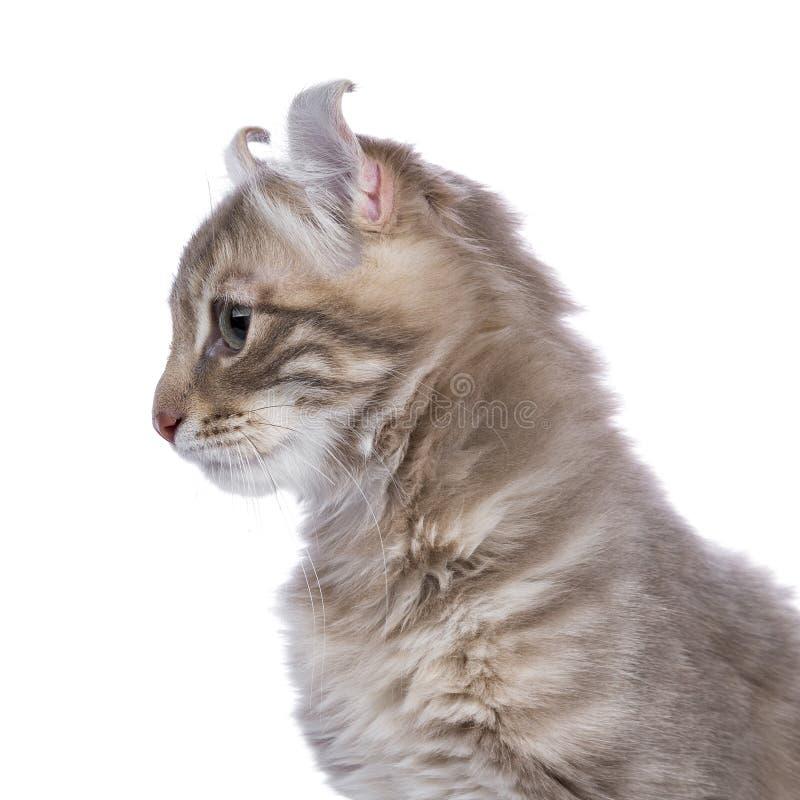 La lila blotched el gatito americano del rizo aislado en blanco foto de archivo