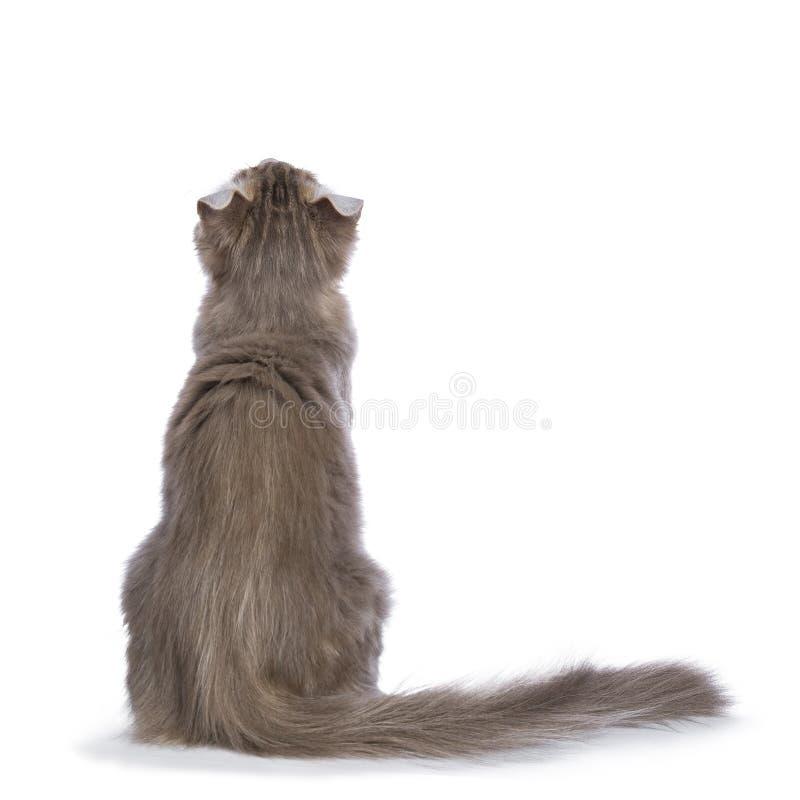 La lila blotched el gatito americano del rizo aislado en blanco imagen de archivo