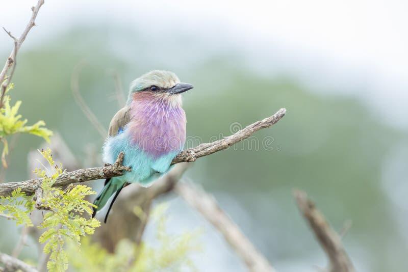 La lila breasted el rodillo en el parque nacional de Kruger, Sur?frica imagen de archivo