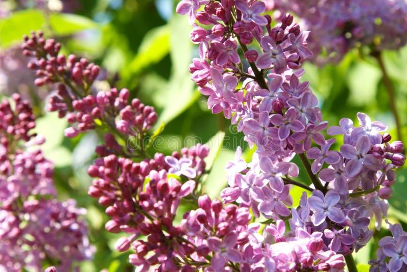 La lila comenzó a florecer imágenes de archivo libres de regalías