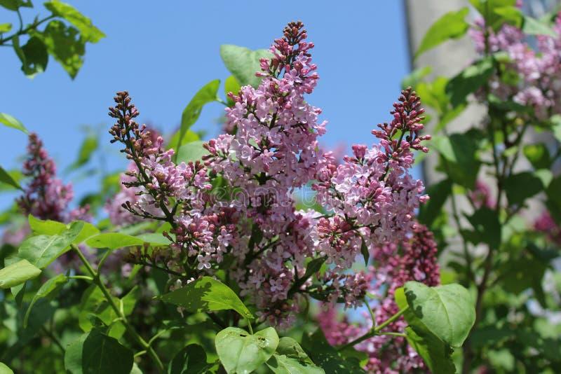 La lila comenzó a florecer en la primavera Ella las flores es lila Son muy pequeños imagenes de archivo