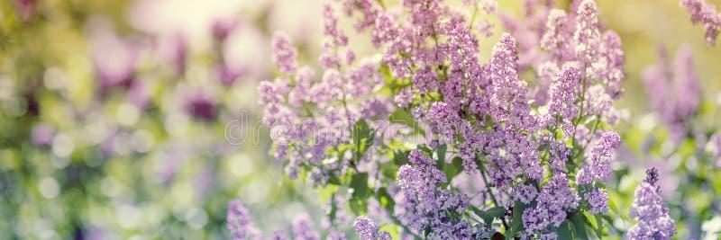 La lila florece el flor de la primavera foto de archivo libre de regalías