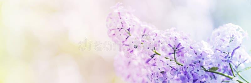 La lila florece el flor de la primavera imagen de archivo libre de regalías