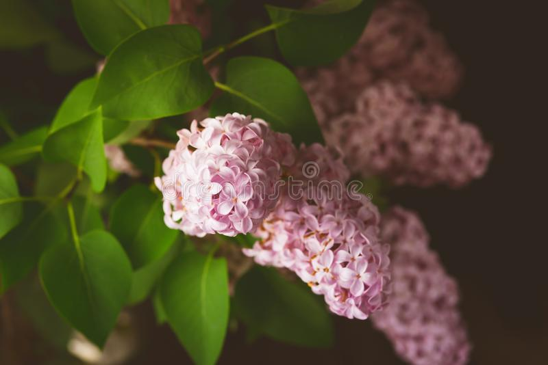 La lila florece manojo hermoso de rama de florecimiento del verde del fondo de la flor de la lila de la lila con el fondo oscuro  imagen de archivo libre de regalías