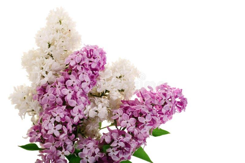 La lila florece, ramifica y las hojas aisladas en el fondo blanco con el espacio de la copia para su texto Endecha plana Visión s libre illustration