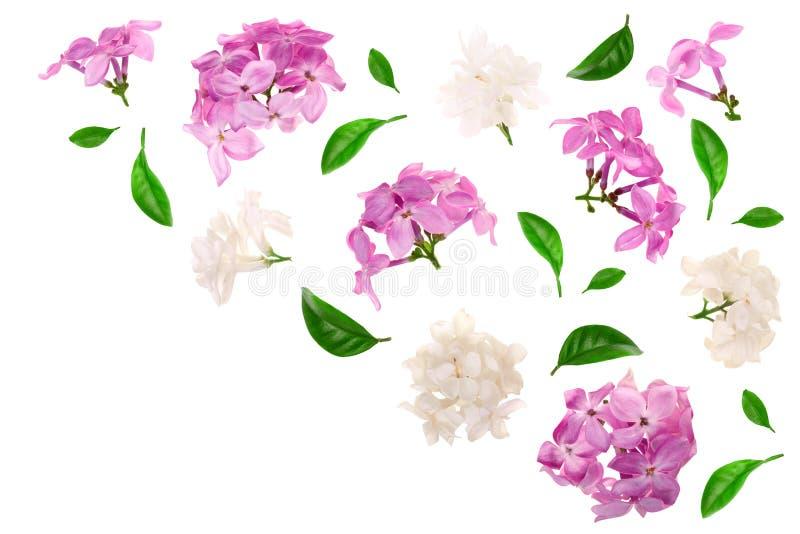 La lila florece, ramifica y las hojas aisladas en el fondo blanco con el espacio de la copia para su texto Endecha plana Visión s stock de ilustración