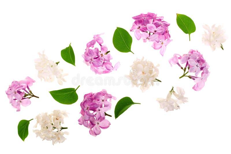 La lila florece, ramifica y las hojas aisladas en el fondo blanco Endecha plana Visión superior libre illustration