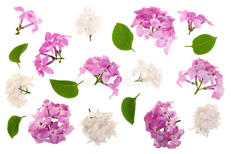 La lila florece, ramifica y las hojas aisladas en el fondo blanco Endecha plana Visión superior ilustración del vector