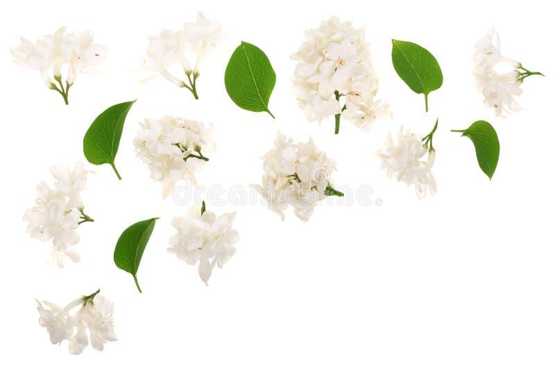 La lila ligera florece, ramifica y las hojas aisladas en el fondo blanco con el espacio de la copia para su texto Endecha plana V ilustración del vector