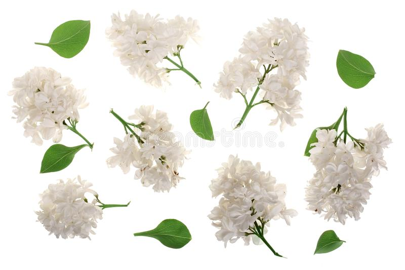 La lila ligera florece, ramifica y las hojas aisladas en el fondo blanco Endecha plana Visión superior ilustración del vector