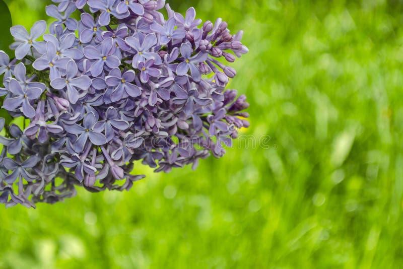 La lila p?rpura hermosa florece al aire libre Flores de la lila en las ramas fotografía de archivo