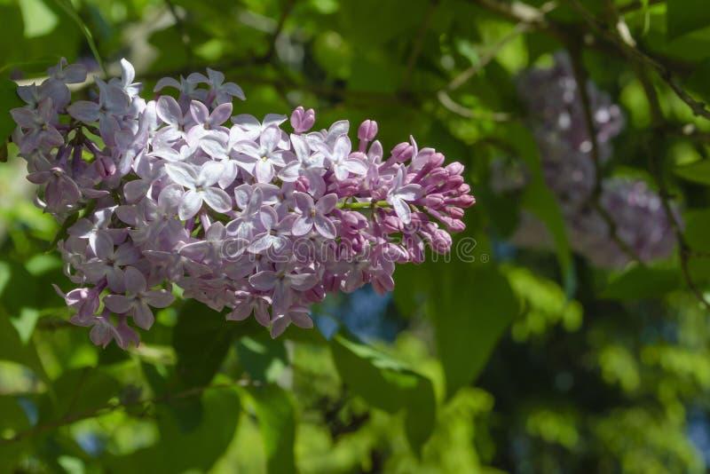 La lila p?rpura hermosa florece al aire libre Flores de la lila en las ramas foto de archivo libre de regalías