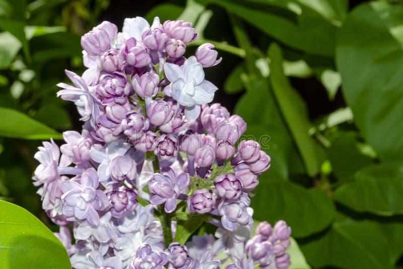 La lila p?rpura hermosa florece al aire libre Flores de la lila en las ramas fotos de archivo