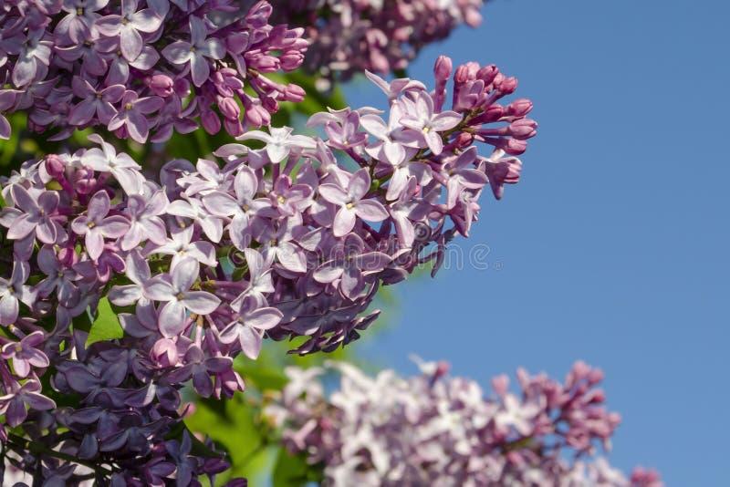 La lila p?rpura hermosa florece al aire libre Flores de la lila en las ramas fotos de archivo libres de regalías