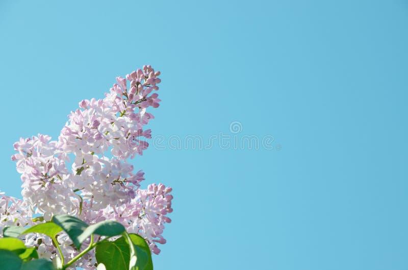 La lila rosada florece con las hojas en el cielo azul claro foto de archivo libre de regalías
