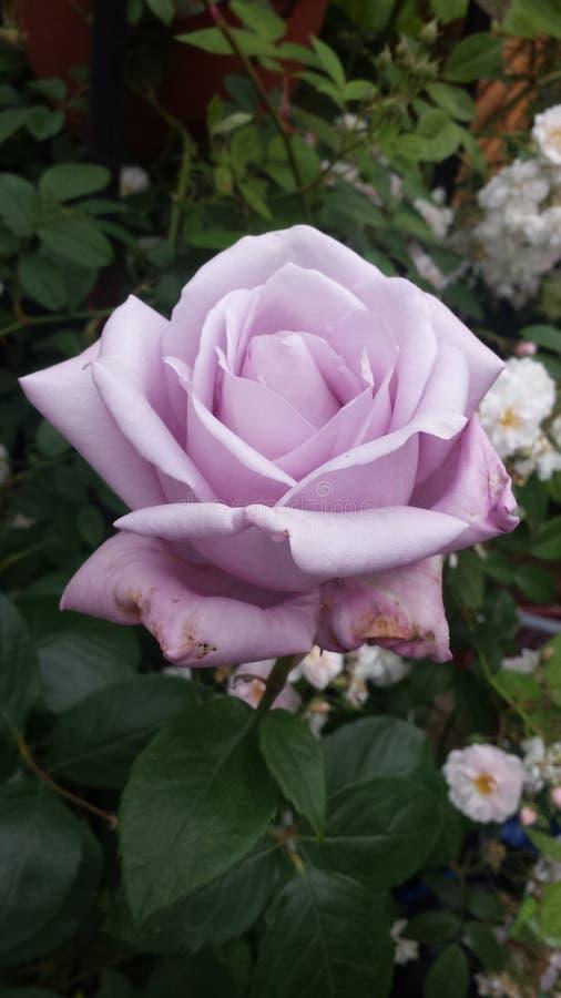 La lila se levantó fotos de archivo