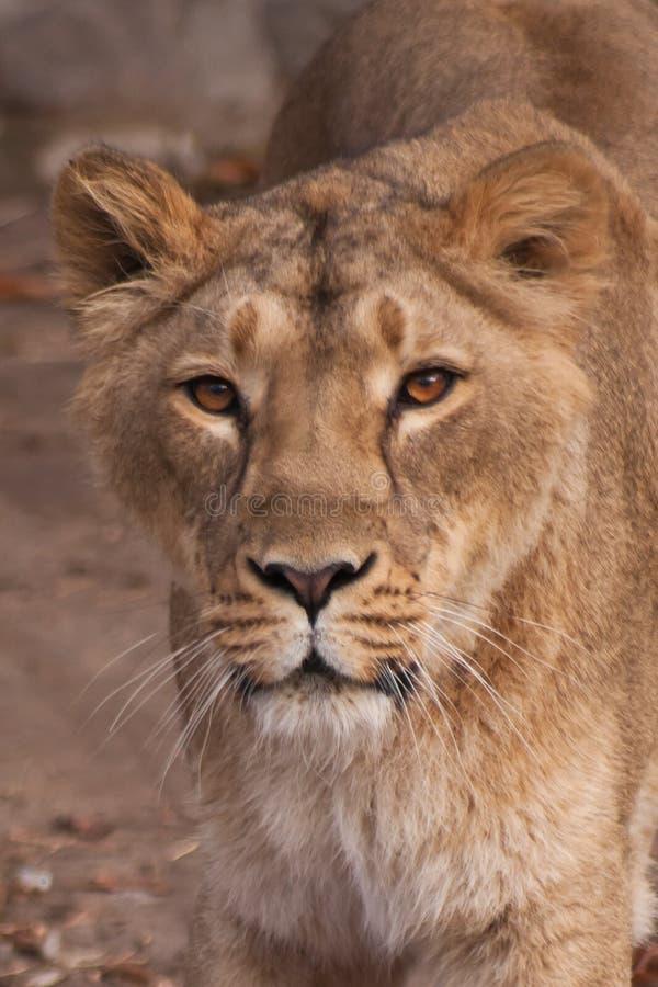 La lionne est une forte et le bel animal, démontre des émotions images libres de droits