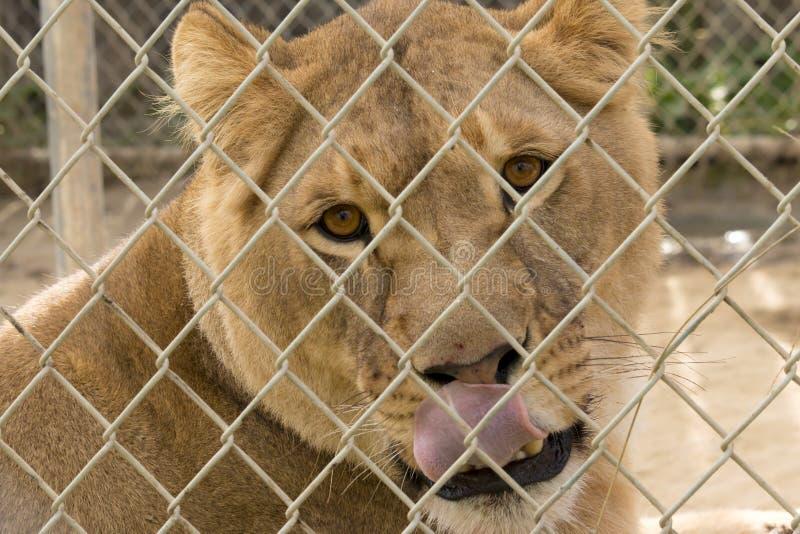 La lionne lèche photo stock