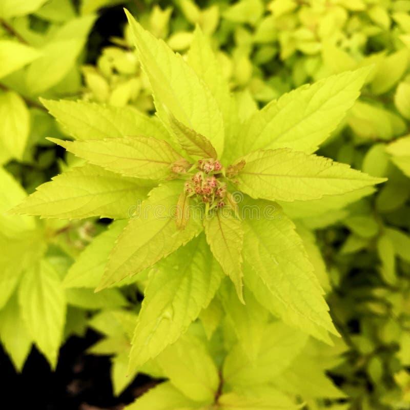 la llama de oro japonesa del spirea con las hojas amarillas y los lanzamientos rojos se cierran para arriba fotos de archivo