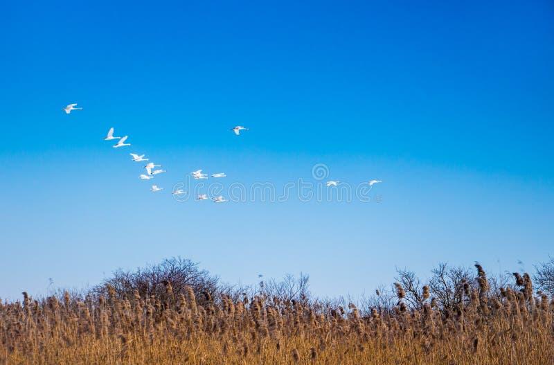 La llave de los gansos salvajes, pájaros vuelve de los bordes calientes, primavera fina d imagenes de archivo