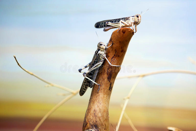 La locusta migratore fotografia stock
