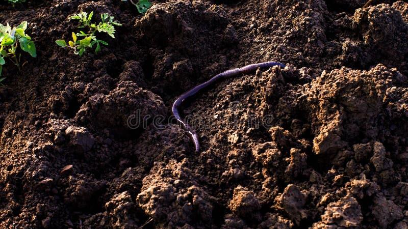 La lombriz de tierra grande en la tierra culebrea y se arrastra foto de archivo libre de regalías