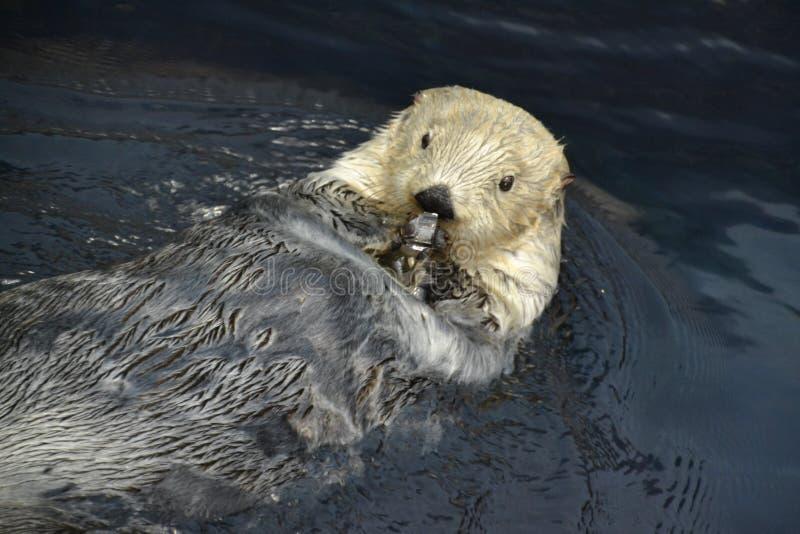 La lontra di mare lecca un cubetto di ghiaccio fotografia stock