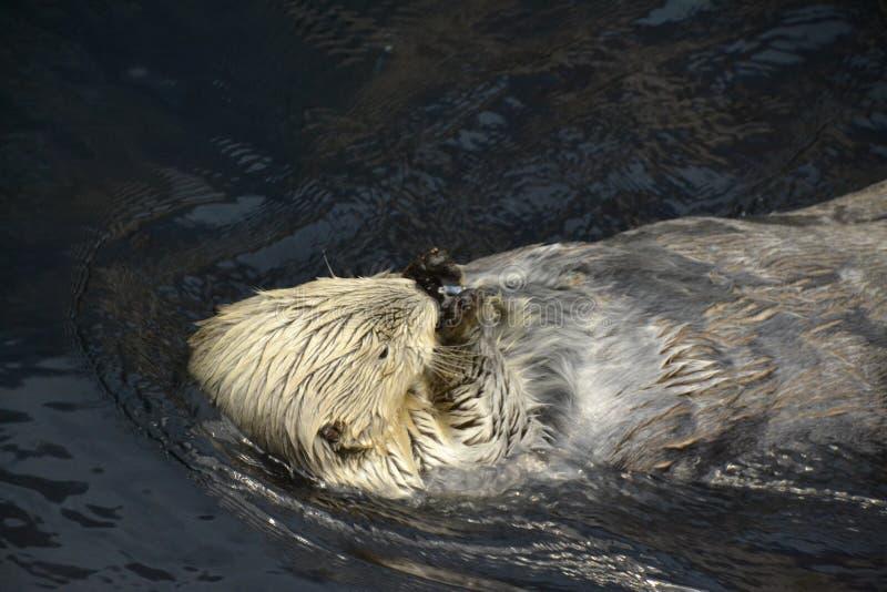 La lontra di mare lecca un cubetto di ghiaccio fotografia stock libera da diritti