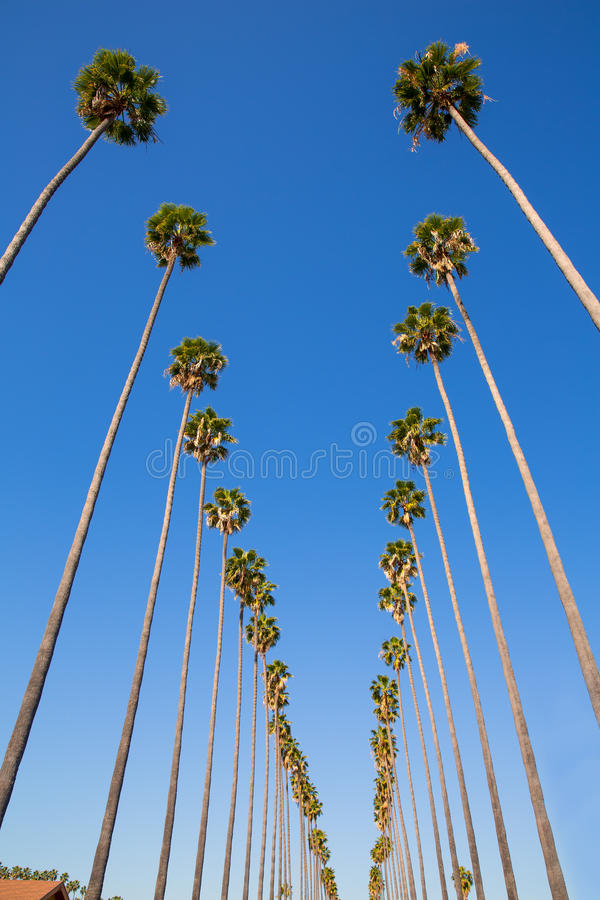 LA Los Angeles palm trees in a row typical Califor royalty free stock photos