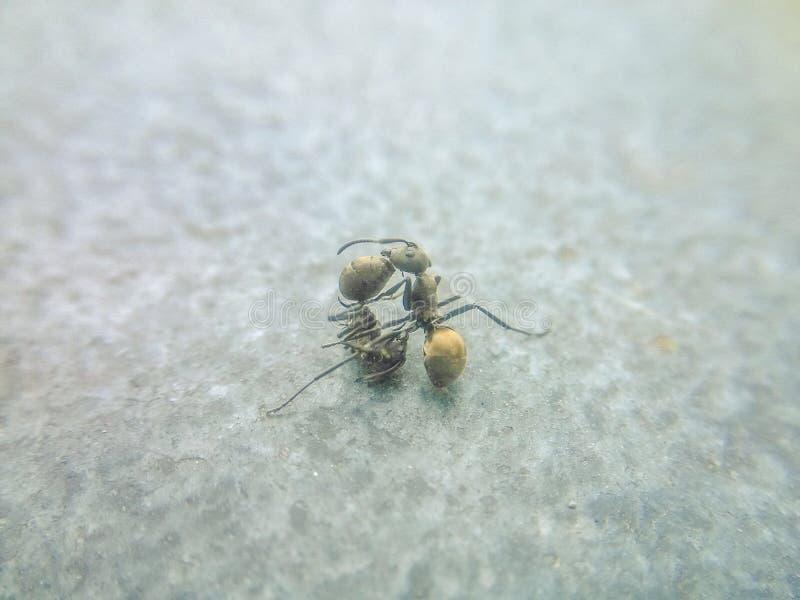 La lotta delle formiche fotografie stock