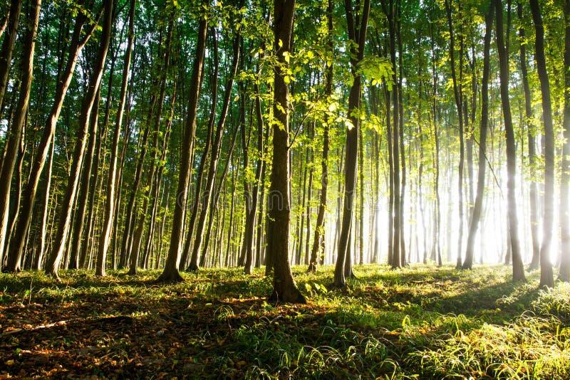 La luce di mattina del sole fa il suo modo attraverso la foresta fotografia stock