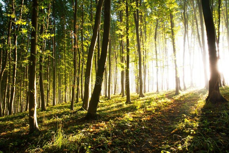 La luce di mattina del sole fa il suo modo attraverso la foresta fotografie stock libere da diritti