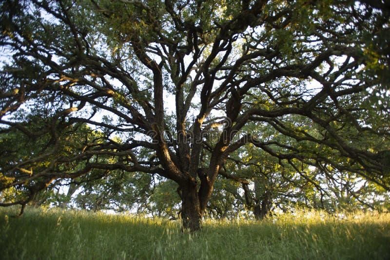 La luce solare di primo mattino evidenzia una quercia blu maestosa nei terreni boscosi del supporto Wanda fotografie stock