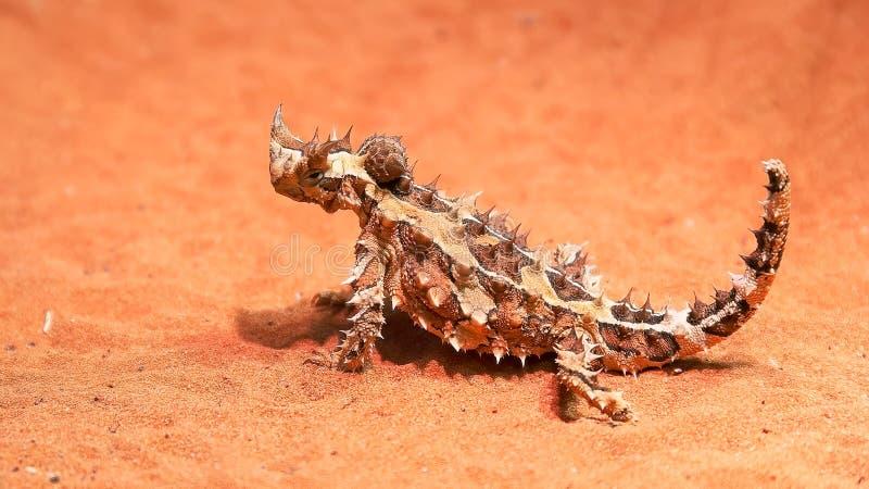La lucertola di drago spinosa australiana gira la sua testa e guarda intorno fotografia stock libera da diritti