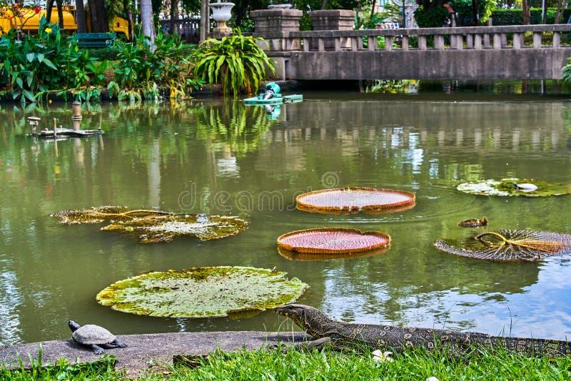 La lucertola di monitor enorme sta cercando sulla tartaruga vicino a Victoria Amazonica fotografia stock